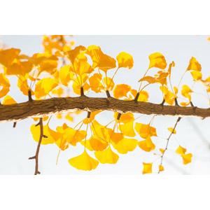 フリー写真, 植物, 葉っぱ, イチョウ, 紅葉(黄葉), 秋