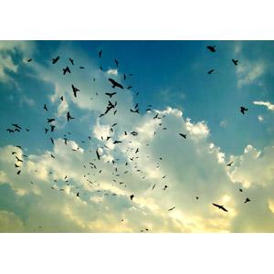 フリー写真, 風景, 空, 雲, 夕暮れ(夕方), 動物, 鳥類, 鳥(トリ), 群れ