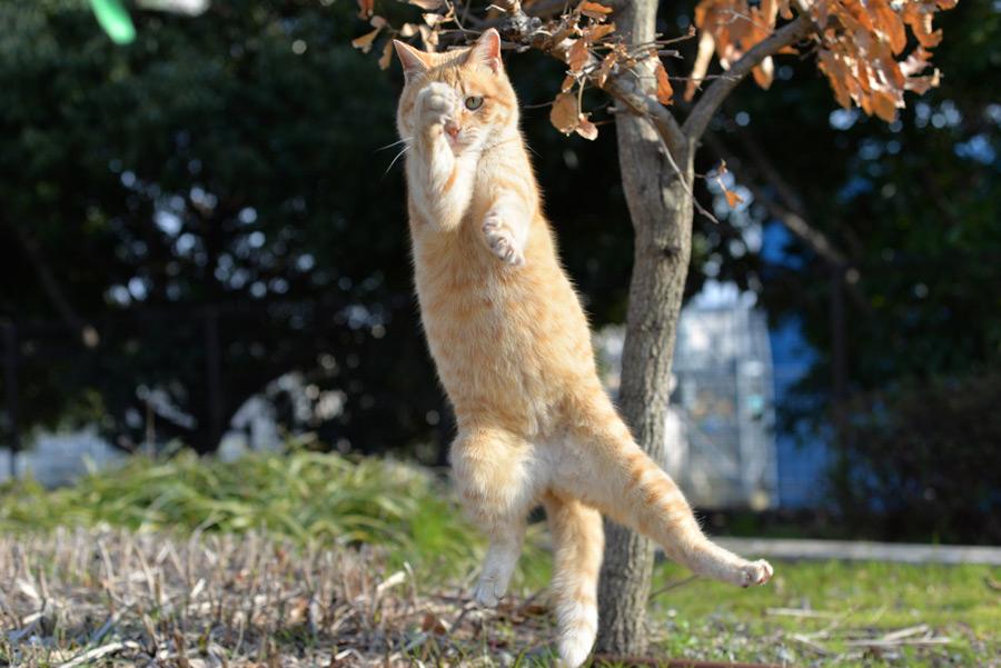 フリー写真 ジャンプするチャトラ猫