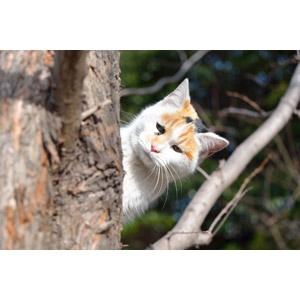 フリー写真, 動物, 哺乳類, 猫(ネコ), 三毛猫, 覗く(動物), 隠れる(動物)
