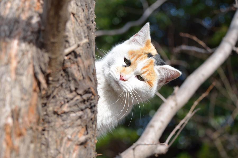フリー写真 木陰から顔を出す三毛猫