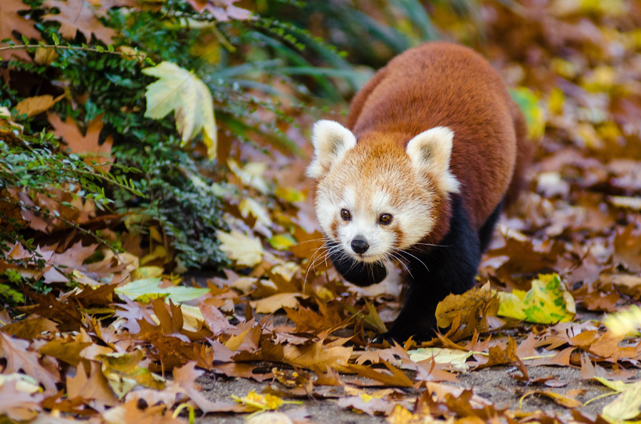 フリー写真 落ち葉の上を歩くレッサーパンダ