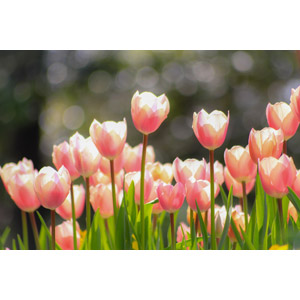 フリー写真, 植物, 花, チューリップ, 花畑, 玉ボケ