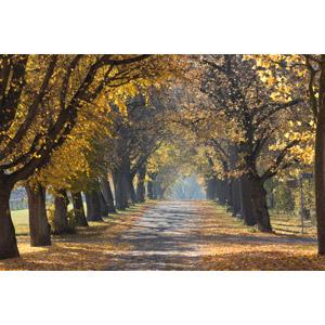 フリー写真, 風景, 並木道, 樹木, 紅葉(黄葉), 秋