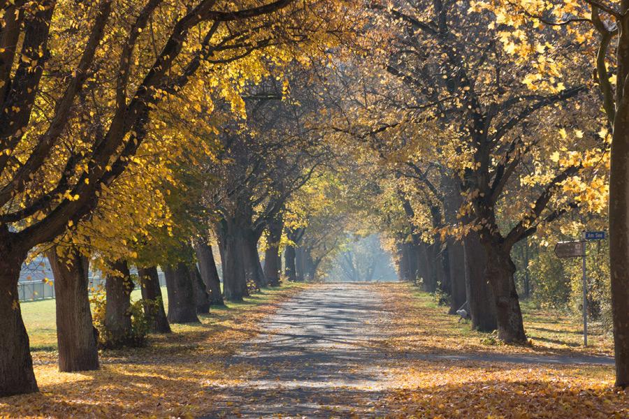 フリー写真 黄葉した木々の間の並木道