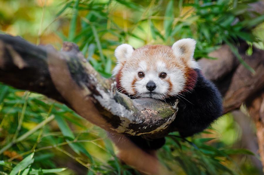 フリー写真 木の上に跨って退屈そうなレッサーパンダ
