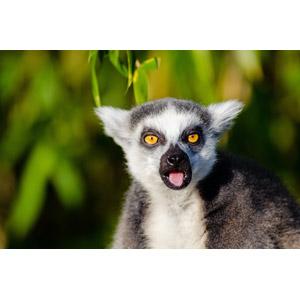 フリー写真, 動物, 哺乳類, 猿(サル), ワオキツネザル, 舌を出す(動物)
