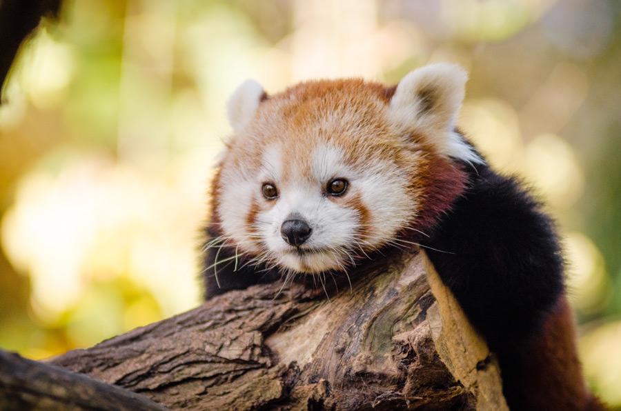 フリー写真 木の上から見下ろすレッサーパンダ