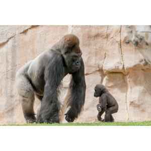 フリー写真, 動物, 哺乳類, 猿(サル), ゴリラ, 親子(動物)