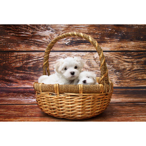 フリー写真, 動物, 哺乳類, 犬(イヌ), 子犬, マルチーズ