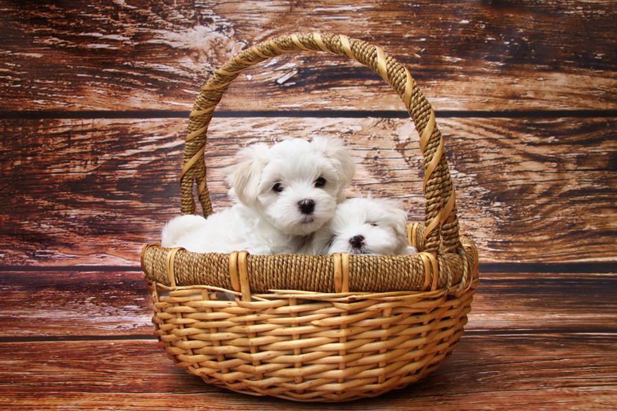 フリー写真 バスケットに入ったマルチーズの子犬