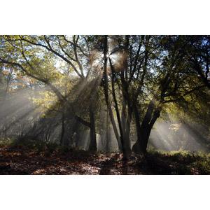 フリー写真, 風景, 自然, 森林, 樹木, 木漏れ日, 太陽光(日光), アメリカの風景, カリフォルニア州