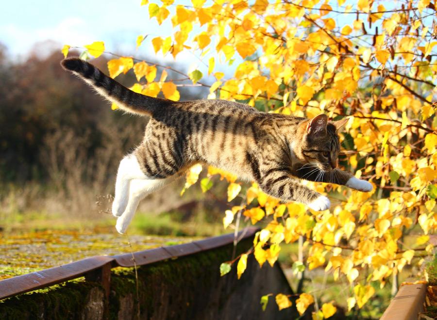 フリー写真 ジャンプするキジ白猫