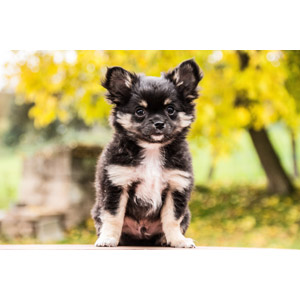 フリー写真, 動物, 哺乳類, 犬(イヌ), 子犬, チワワ