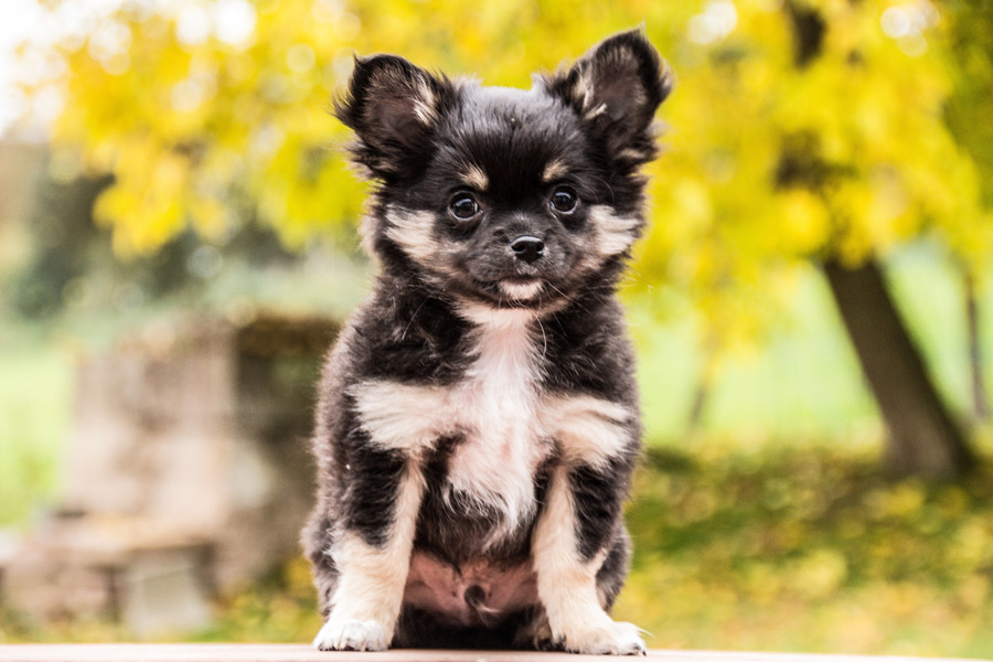 フリー写真 子犬のチワワ
