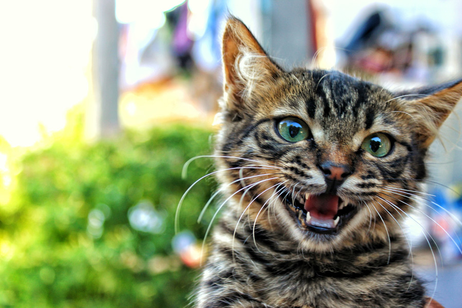 フリー写真 鳴き声を上げるキジトラの子猫