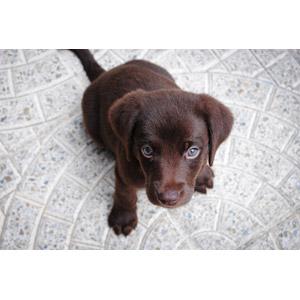 フリー写真, 動物, 哺乳類, 犬(イヌ), 子犬, 子供(動物), ラブラドール・レトリバー