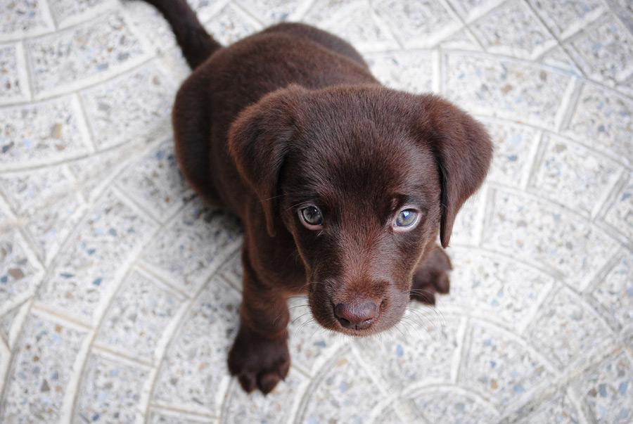 フリー写真 黒毛のラブラドールレトリバーの子犬