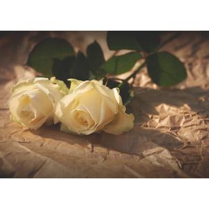 フリー写真, 植物, 花, 薔薇(バラ), 白色の花