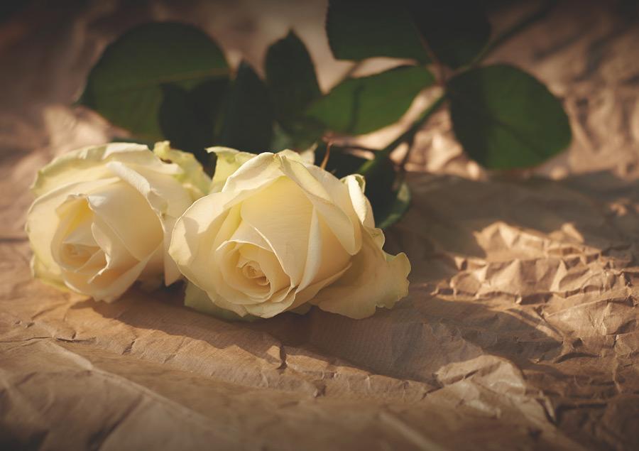 フリー写真 白いバラの花