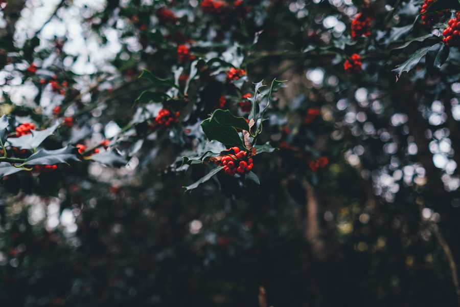 フリー写真 セイヨウヒイラギの枝葉と実