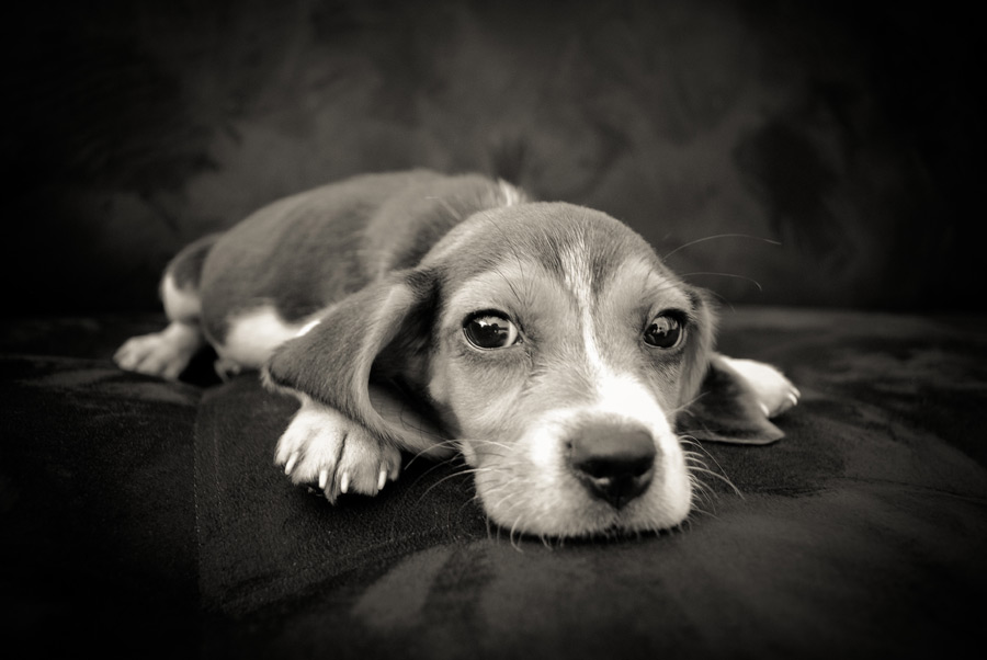 フリー写真 疲れた子犬のビーグル