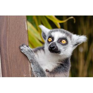 フリー写真, 動物, 哺乳類, 猿(サル), ワオキツネザル, 覗く(動物), 隠れる(動物)