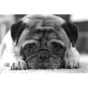 フリー写真, 動物, 哺乳類, 犬(イヌ), パグ, モノクロ
