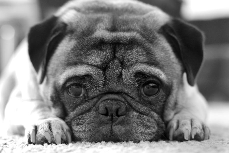 フリー写真 眠そうなパグ