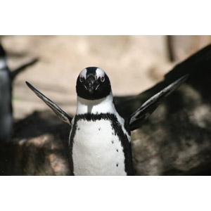 フリー写真, 動物, 鳥類, ペンギン, フンボルトペンギン