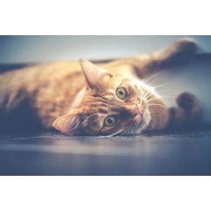 フリー写真, 動物, 哺乳類, 猫(ネコ), 茶トラ猫
