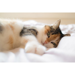 フリー写真, 動物, 哺乳類, 猫(ネコ), 三毛猫