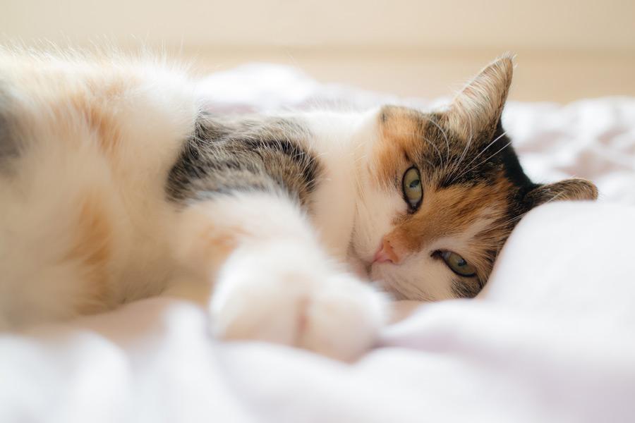 フリー写真 シーツの上で寝転ぶ三毛猫