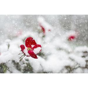 フリー写真, 風景, 植物, 花, 薔薇(バラ), 雪, 冬