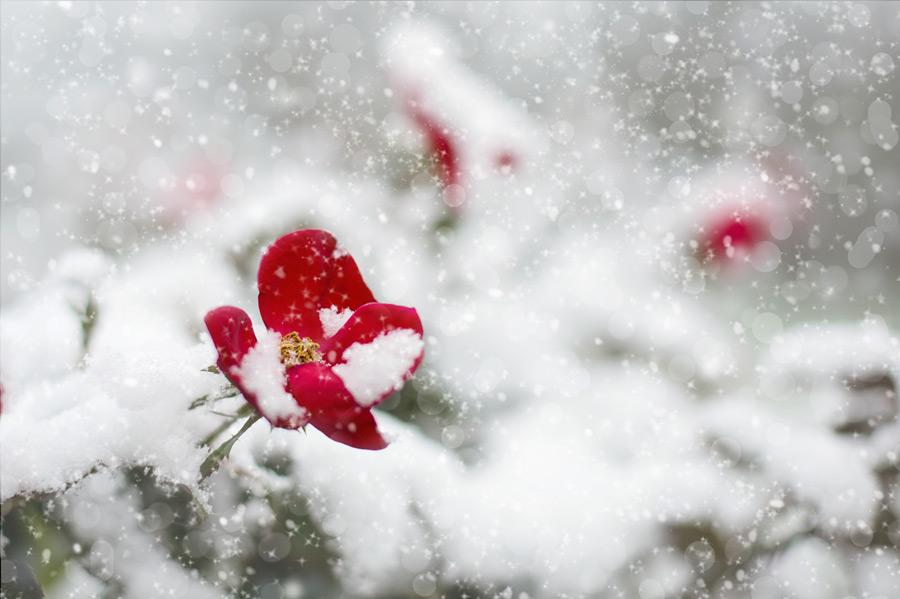 フリー写真 赤いバラの花と降りゆく雪