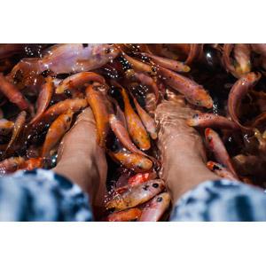 フリー写真, 人体, 足, 動物, 魚類, 魚(サカナ), ドクターフィッシュ