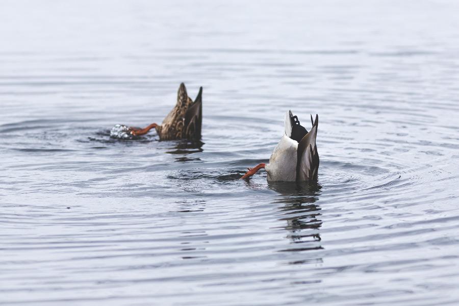 フリー写真 一緒に水の中に潜る鴨のカップル