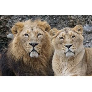 フリー写真, 動物, 哺乳類, ライオン, カップル(動物)