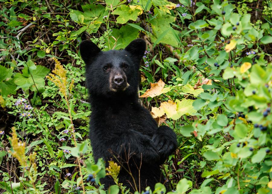 フリー写真 草むらの中で立っている子熊