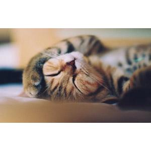 フリー写真, 動物, 哺乳類, 猫(ネコ), 錆び猫(サビ猫), 寝る(動物)