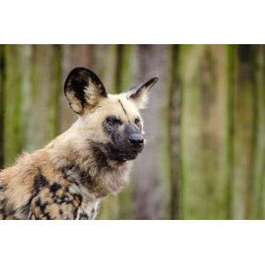 フリー写真, 動物, 哺乳類, リカオン