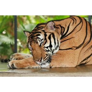 フリー写真, 動物, 哺乳類, 虎(トラ), 寝る(動物)