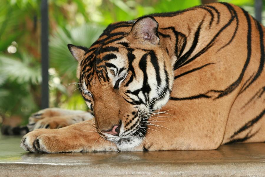 フリー写真 寝ている虎