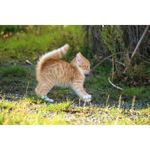 フリー写真, 動物, 哺乳類, 猫(ネコ), 子猫, 茶白猫, 驚く(動物)