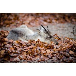 フリー写真, 動物, 哺乳類, トナカイ, 落葉(落ち葉), 寝る(動物), 子供(動物)