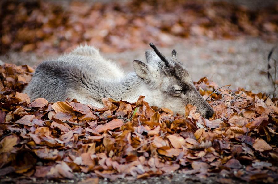 フリー写真 落ち葉の上で寝ているトナカイの子供