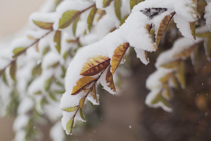 フリー写真 枝葉に積もる雪