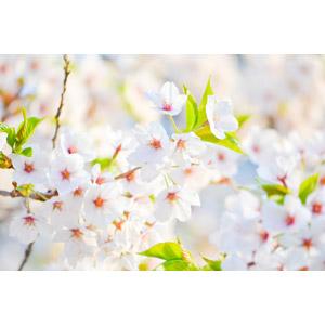 フリー写真, 植物, 花, 桜(サクラ), 春, 白色の花
