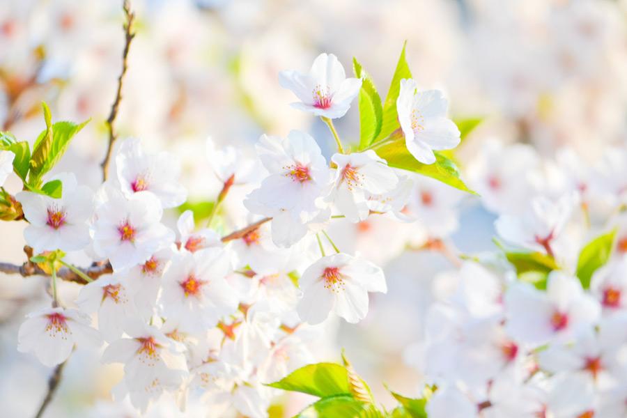フリー写真 トロントの桜の花