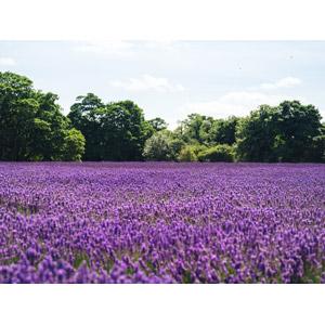 フリー写真, 風景, 植物, 花, ラベンダー, 紫色の花, 花畑, イギリスの風景